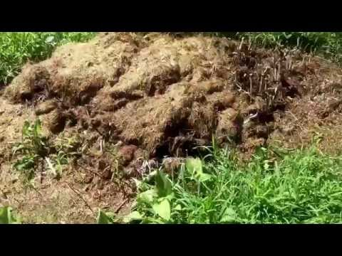 Easy way to Compost Chicken Manure!