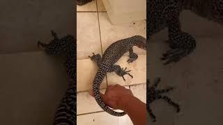 approaching untamed Monitor lizard
