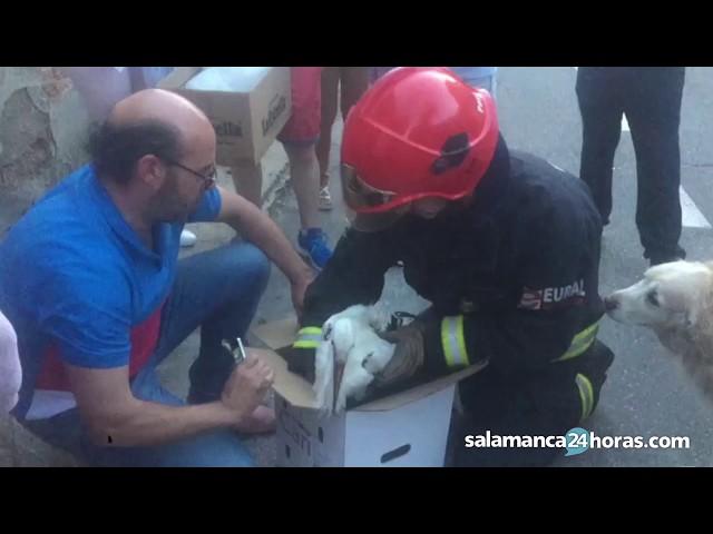 Rescate de una cigüeña en Villares de la Reina