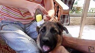 Как ПРАВИЛЬНО КЛЕИТЬ УШИ щенку немецкой овчарки.Sticking German Shepherd puppy ears.Одесса.(, 2014-09-06T19:54:49.000Z)