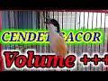 Gacor Volume Sangat Cocok Untuk Merangsang Cendet Susah Bunyi Agar Fighter  Mp3 - Mp4 Download