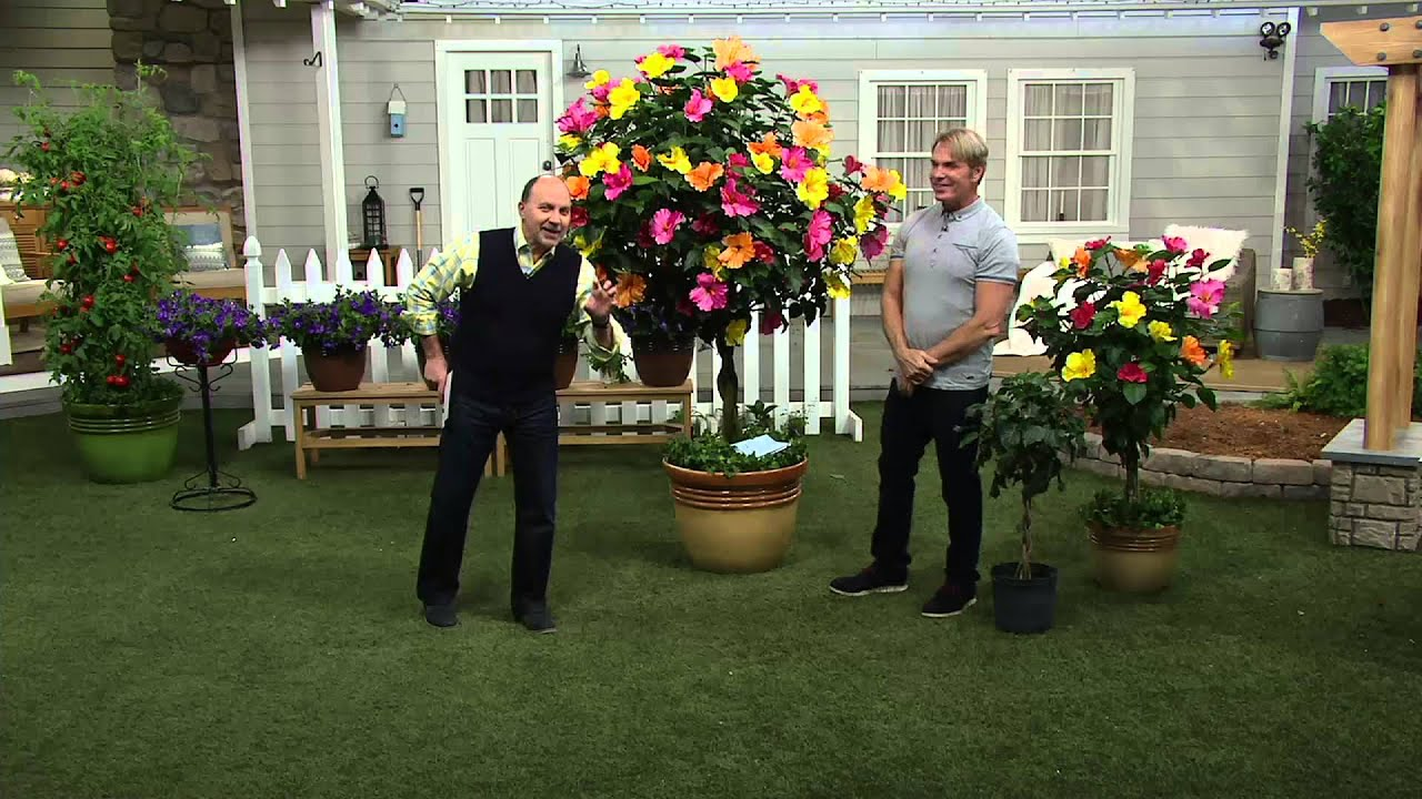 Cottage Farms Key West Sunset Braided Hibiscus Patio Tree On QVC