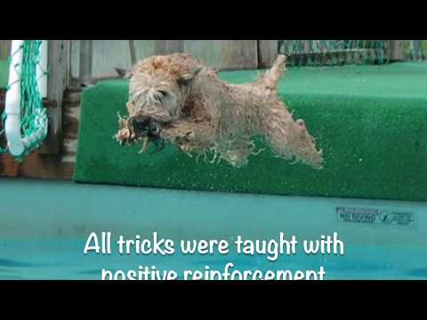Wheaten Terrier Krista AKC Trick Dog Performer