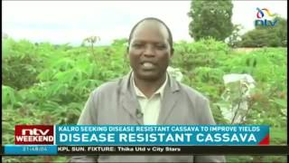 Virus Resistant Cassava for Africa (VIRCA) Project is Working to Develop Disease Resistant Cassava
