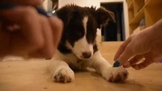 Айснехт Эдарика (4 месяца) Бордер Колли