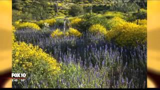 Wildflowers in Arizona