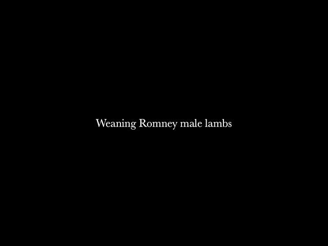 Weaning Romney male lambs