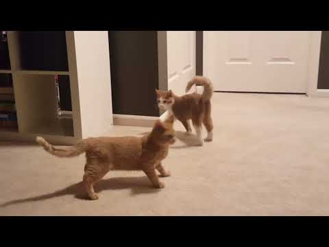 The Sweely's adopted 2 new kittens! Kittens playing and loving on each other!