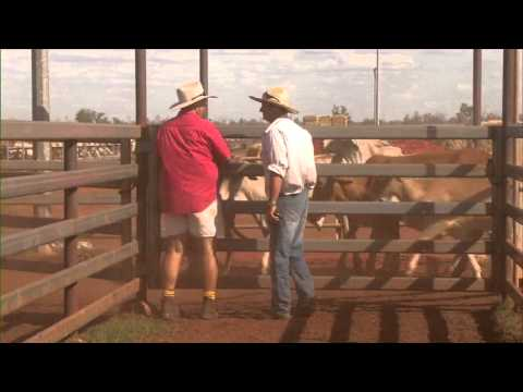 How cattle are prepared for the live cattle export trade