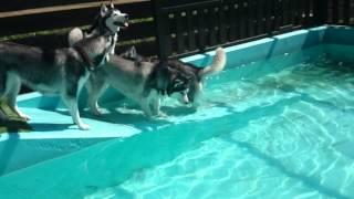 犬生初の水泳~ちょっと沈んじゃったけどね.