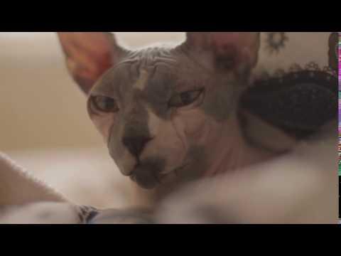 Chat Sphynx de très pret / very close Sphinx cat