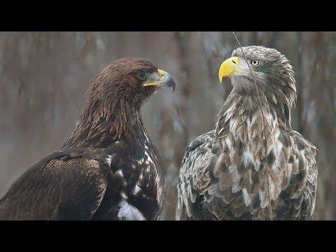 Беркут против Орлана. Golden Eagle vs. White-tailed Eagle.