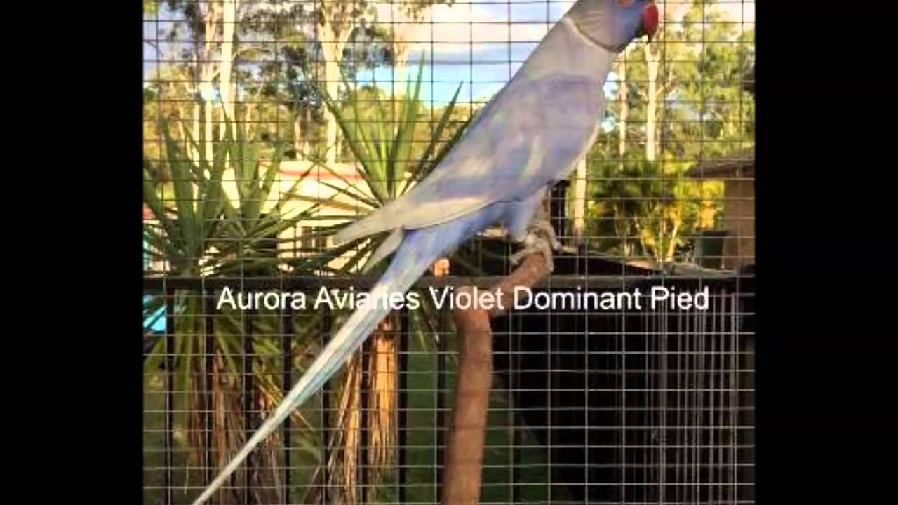 the beauty of indian ringneck parrots - mutations-colours - youtube