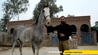 Tehsildar Stud Farm | Navdeep Singh Bhullar | Top Stud Farm Punjab | Nukra And Marwari Horse Farm