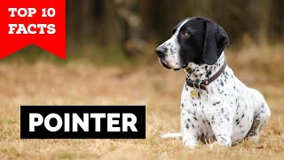Pointer Dog  Top 10 Facts