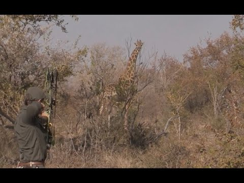 Ancient Giraffe Bull Bowhunt   Bowhunting In Africa