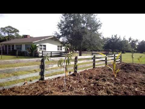 Training my Loquat trees