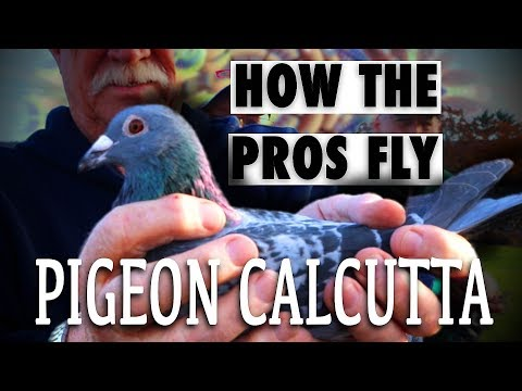 Betting On Racing Pigeons: Pigeon Calcutta