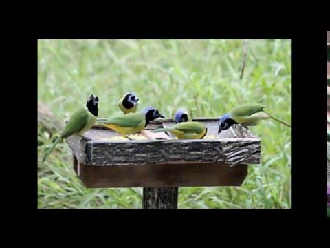 Birds Of The Rio Grande Valley (RGV) Deep South Texas