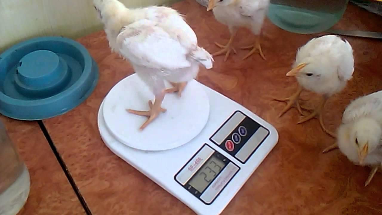 Купить продать кур, цыплят по оптовым ценам в запорожской обл. Бройлеры, цыплята, утята, мясо-яичные породы, несушки, подросток, гусята и др.
