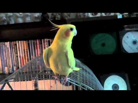 Попугай корелла чирикает