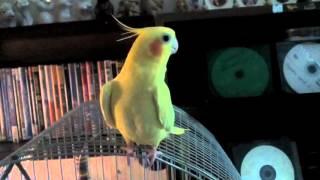 Скачать Попугай корелла чирикает