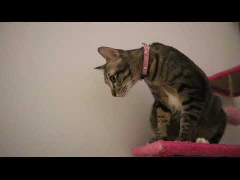 Thai cats, American curl cat, Persian cat and Scottish Fold cat.: