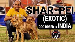 SharPei (Exotic Fighter) Chinese Puppy Dog Breed in INDIA | Deep Wrinkles Canin | Baadal Bhandaari
