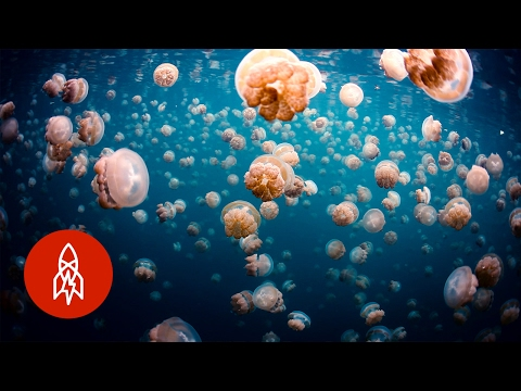 Swim Safely With Thousands Of Jellyfish