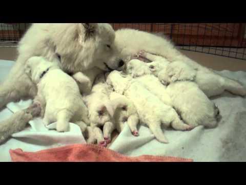 Arctic Diamond Samoyeds, Athena Puppies Day 18 - Here we are