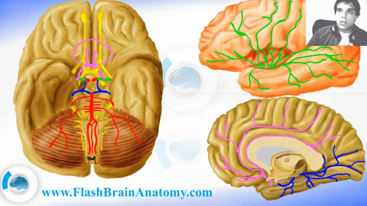 Lessons And 3d Anatomy Software Brain Arteries 12 Youtube