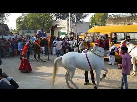 Superb Camel and horse dancing at Rajasthani song lilen DJ song