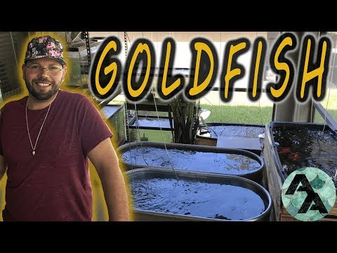 Fancy goldfish room tour   Water Pigs USA amazing outdoor fish room