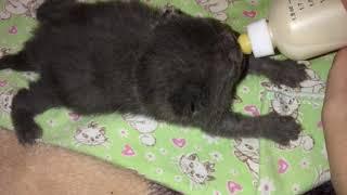 Искусственное вскармливание самого слабого из помета, как правильно кормить искусственно котёнка.