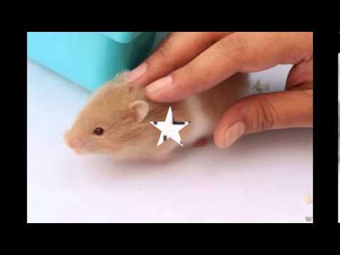 How To Care For Syrian Hamster - YouTube