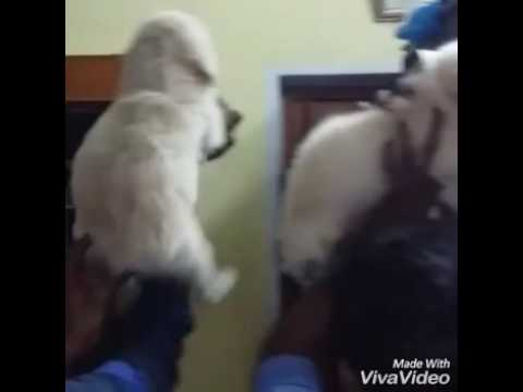 Show Quality Golden Retriever Puppies In India 9999039993 Cheap