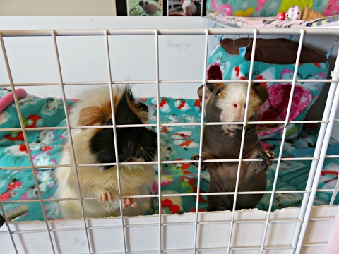 My Day Off: Looking After 9 Guinea Pigs & 1 Bunny