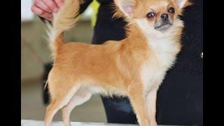 одежда для чихуа мини порода собак