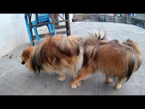 Toy Pomeranian mating full video | Pomeranian mating | First mating Pomeranian