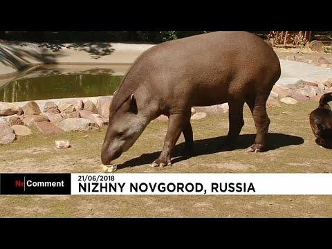 Cleopatra, o tapir `adivinho` deste Mundial