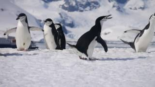 Chinstrap penguin about to poop