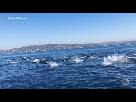 Stunning Dolphin Stampede off Dana Point, California | Capt. Dave's Whale Watching