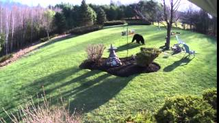 Brave Bold Bulldogs Meet a NH Black Bear