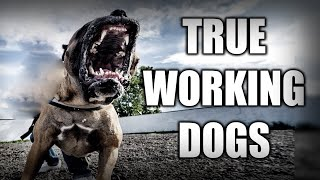 MY PERSONAL FAVORITE WORKING DOG BREEDS  TOP 7 PROTECTION DOGS