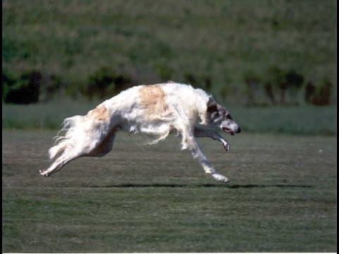 A Borzoi Dog Borzoi Dog Bree...