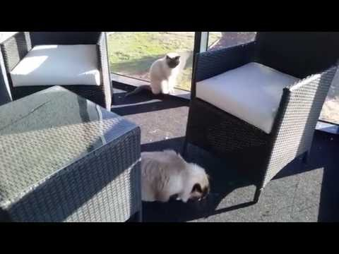 Finding Ella - PoathCats / PoathTV / Floppy Ragdoll Cats