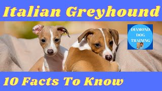 Italian Greyhound 10 Facts To Know About Italian Greyhound
