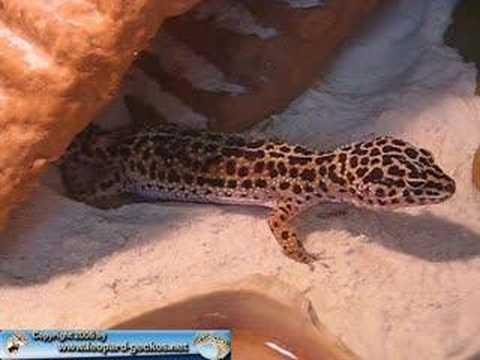 Leopardgecko Eiablage - YouTube  Leopardgecko Ei...