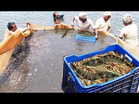 Shrimp scampi Fishing Videos | Prawns Fishing | Prawns catchin' | Vast Shrimp weight 1000 pounds