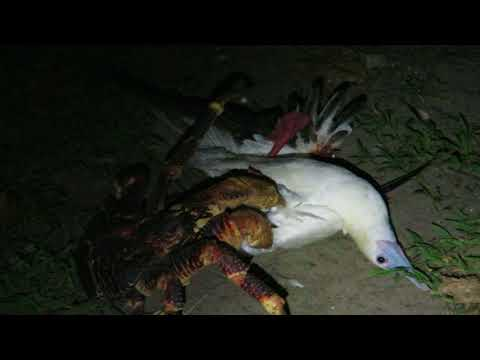 Coconut crab attacks bird
